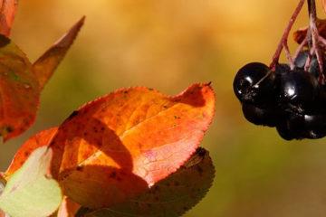 Aronia negra antioxidante